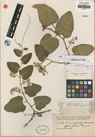 Isotype of Cissus sicyoides L. f. marmorata Chodat and Hassler [family VITACEAE]