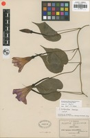 Isotype of Ipomoea tentaculifera Greenm. [family ]