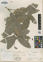 Holotype of Medicosma subersoa T. G. Hartley [family RUTACEAE]