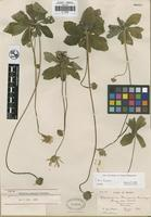 Holotype of Verbesina purpusii Brandegee [family ASTERACEAE]