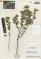 Isotype of Cassia chapadae H. S. Irwin and Barneby [family FABACEAE]