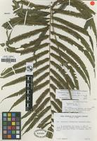Isotype of Thelypteris depilata A. R. Sm. [family THELYPTERIDACEAE]