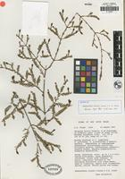 Isotype of Homoranthus floydii Craven and Jones, S. R. [family MYRTACEAE]