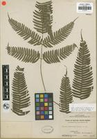 Isotype of Pteris clemensiae Copel. [family PTERIDACEAE]