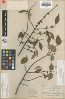 Isotype of Forestiera racemosa S. Watson [family ]