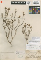 Isotype of Porophyllum leptophyllum I. M. Johnst. [family ASTERACEAE]
