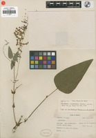 Isotype of Meibomia occidentalis Morton [family FABACEAE]