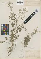 Holotype of Lepidium virginicum L. var. tepicense C. L. Hitchc. [family BRASSICACEAE]