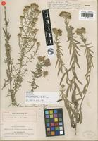 Holotype of Aster bernardinus H. M. Hall [family ASTERACEAE]