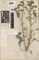 Holotype of Brickellia subsessilis B. L. Rob. [family ASTERACEAE]