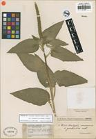 Isotype of Acalypha communis Muell. Arg. var. guaranitica Chodat and Hassler [family EUPHORBIACEAE]