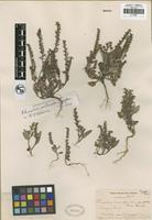 Holotype of Phacelia curvipes Torr. ex S. Watson var. yosemitana Brand [family HYDROPHYLLACEAE]