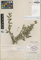 Holotype of Satureja guatemalensis Standl. ex Epling and Jativa [family LAMIACEAE]
