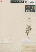 Isotype of Perityle lineariloba Rydb. [family ASTERACEAE]