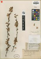 Isotype of Ruprechtia triflora Griseb. var. guaranitica Chodat and Hassler [family POLYGONACEAE]