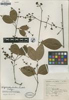 Isotype of Calyptranthes hintonii Lundell [family MYRTACEAE]