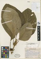 Isotype of Cyrtandra rotumaensis H. St. John [family GESNERIACEAE]