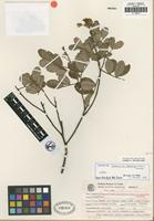 Isotype of Chamaecrista fodinarum H. S. Irwin and Barneby [family FABACEAE]