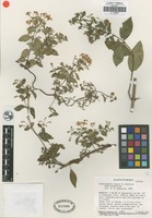 Isotype of Gaudichaudia chasei W.R. Anderson [family MALPIGHIACEAE]