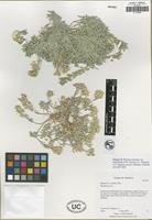 Isotype of Physaria arizonica (S. Watson) O'Kane and Al-Shehbaz var. andrusensis N. D. Atwood, S. L. Welsh and L. C. Higgins [family BRASSICACEAE]