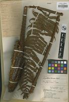 Holotype of Cyathea mexiae Copel. [family CYATHEACEAE]