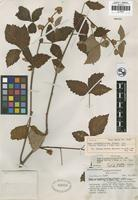 Holotype of Rhus allophylloides Standl. var. mexiae F. A. Barkley and M. J. Reed [family ANACARDIACEAE]