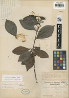 Holotype of Eugenia multipunctata Merr. [family MYRTACEAE]