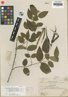 Isotype of Epigynum chinensis Merr. [family APOCYNACEAE]