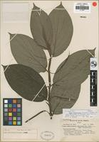 Isotype of Piper debilicaule Trel. and Yunck. [family PIPERACEAE]