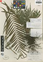 Isotype of Cyclosorus cataractorum W. H. Wagner and Grether [family THELYPTERIDACEAE]