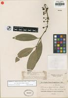 Isosyntype of Rheedia brasiliensis (Mart.) Planch. and Triana var. salicifolia Chodat and Hassler [family CLUSIACEAE]
