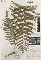 Holotype of Pteris websteri A. R. Sm. and J. Prado [family PTERIDACEAE]