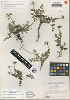Holotype of Tauschia infernicola Constance and Affolter [family APIACEAE]
