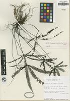 Isotype of Adiantopsis dactylifera Link-Perez and Hickey [family PTERIDACEAE]