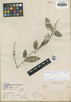 Isotype of Hoya patella Schltr. [family ASCLEPIADACEAE]