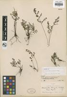 Isotype of Cheilanthes peninsularis Maxon [family PTERIDACEAE]