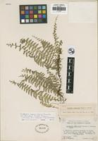 Holotype of Lindsaea sagincola W. H. Wagner and Grether [family LINDSAEACEAE]