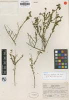 Isotype of Thamnosma stanfordii I. M. Johnst. [family RUTACEAE]