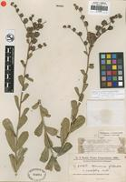 Isotype of Vernonia glabrata Less. var. cuneifolia Chodat and Hassler [family ASTERACEAE]