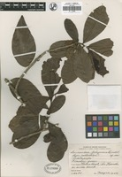 Isotype of Souroubea belizensis Lundell [family MARCGRAVIACEAE]