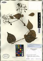 Isotype of Russelia contrerasii B.L. Turner [family SCROPHULARIACEAE]