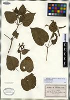 Isotype of Mirabilis pringlei Standley [family NYCTAGINACEAE]