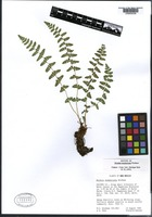 Isotype of Woodsia neomexicana Windham [family DRYOPTERIDACEAE]