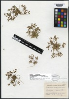 Isotype of Androsace platysepala Wooton & Standl. [family PRIMULACEAE]