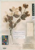 Holotype of Pithecellobium macrosiphon Standley, P.C. 1919 [family FABACEAE]