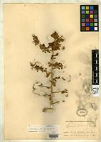 Isotype of Lycium hassei Greene, E.L. 1888 [family SOLANACEAE]