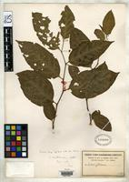 Isotype of Solanum leptorhachis Bitter, F.A.G. 1922 [family SOLANACEAE]