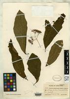 Isotype of Valerioa costaricensis Standley, P.C. & Steyermark, J.A. 1938 [family SOLANACEAE]