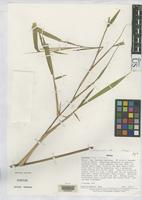 Holotype of Aulonemia fulgor Soderstrom, T.R. 1988 [family POACEAE]