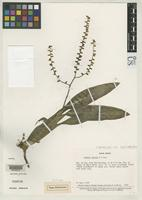 Isotype of Lymania smithii Read, R.W. 1984 [family BROMELIACEAE]